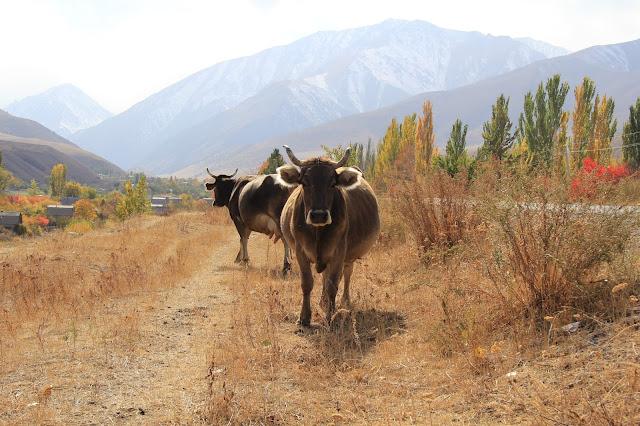 Kirghizistan, Bichkek, Kashka-Suu, vache, © L. Gigout, 2012