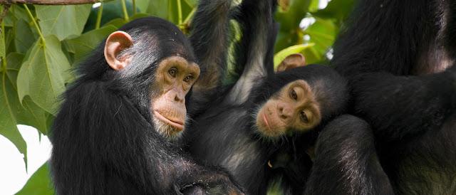 Chimpances y biologia