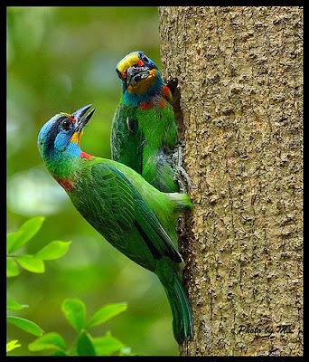 Ave de 5 colores Megalaima Psilopogon nuchalis
