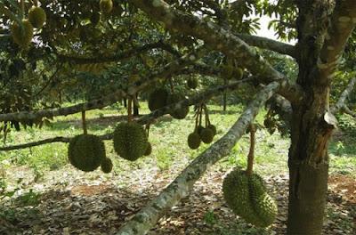 Cara Menanam Durian Montong