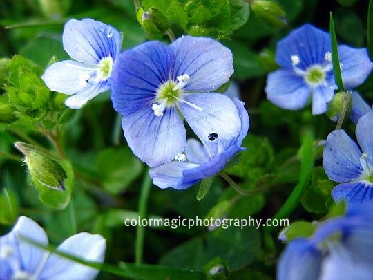 Veronica persica-Persian speedwell