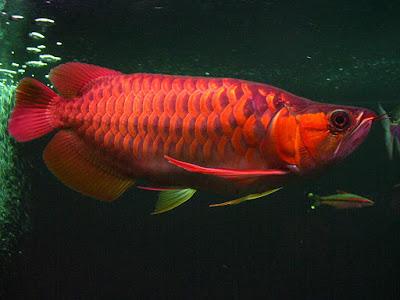 Arwana asia ikan hias air tawar