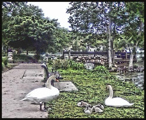 [Image: swanfamily.jpg]