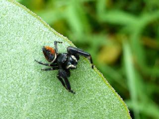 Phidippus clarus - Araignée sauteuse