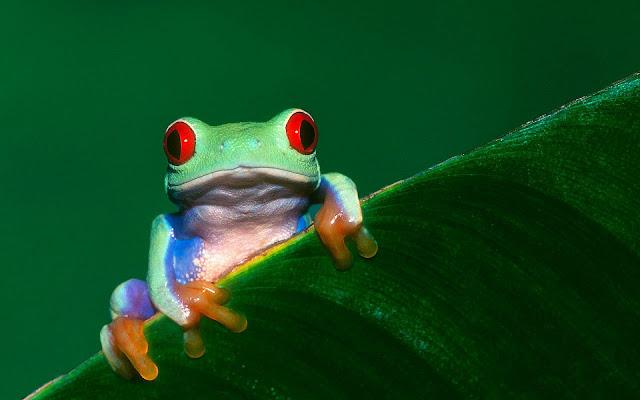 Groene kikker op een groen blad
