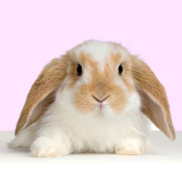 Kelinci Mini Lop