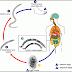 Definisi Penyebab Dan Pengobatan Penyakit Ankilostomiasis serta Askariasis Menurut Ilmu Kedokteran
