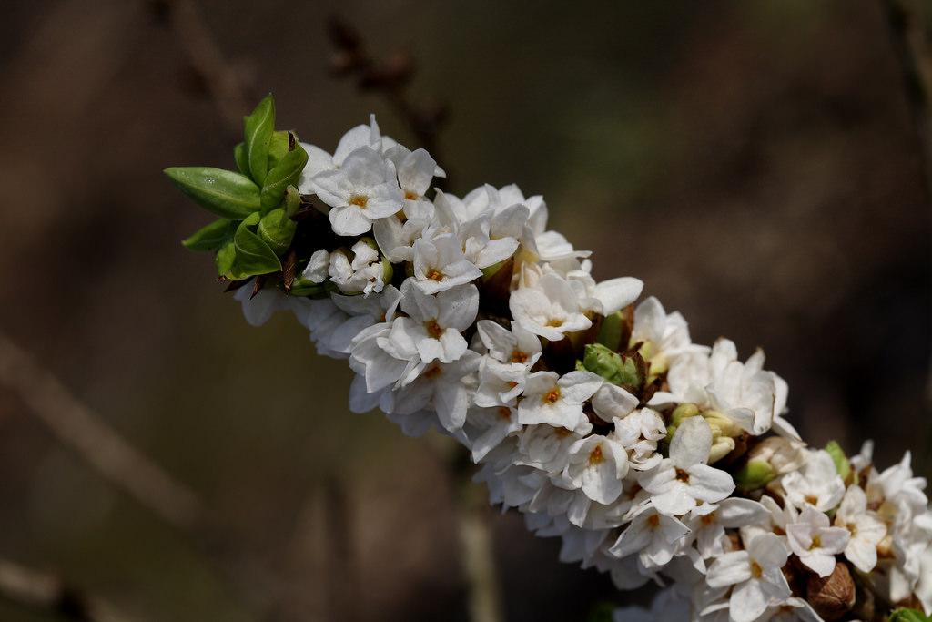 Daphne arbustos con flores fragantes incluso en invierno - Arbusto pequeno con flores ...