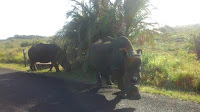 Two beautiful  rhinos along the road between Cape Vidal  and St  Lucia  in the iSimangaliso  Wetland Park