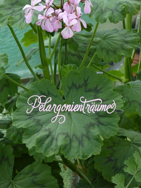 Blattschmuckpelargonie-Blattschmuck-Pelargonienträume