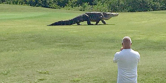 Freaking Huge 'Monster' Gator Casually Strolls Across Florida Golf Course