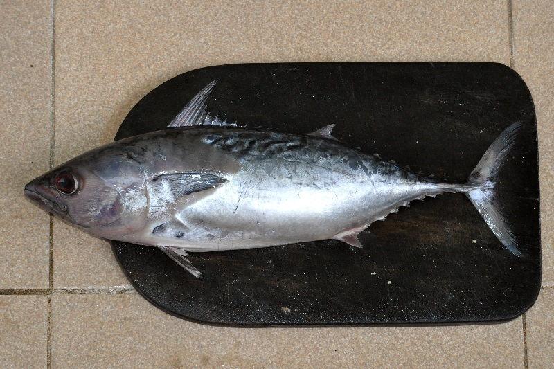 Gambar Jenis Ikan Tuna-Tongkol, tongkol como, tongkol komo, atau tongkol kurik (Euthynnus affinis)
