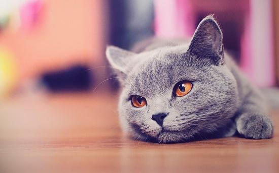 Cara Membuat Kucing Birahi