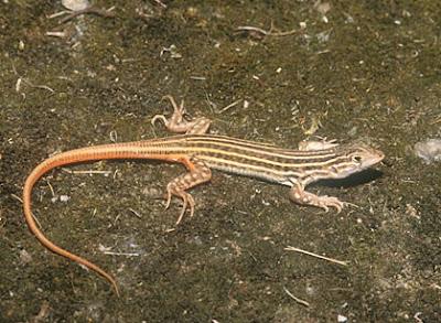 lagartija colirroja Acanthodactylus erythrurus