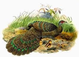 Germain´s Peacock-pheasant