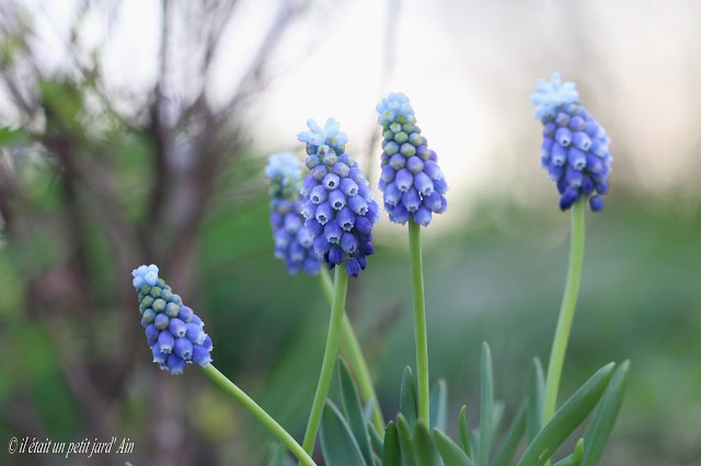 muscaris chalusicum bleus