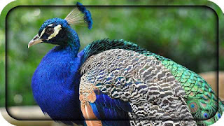 this image is of peacock which is national bird of India