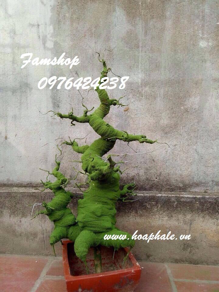 Goc bonsai mai dao o Bach Mai