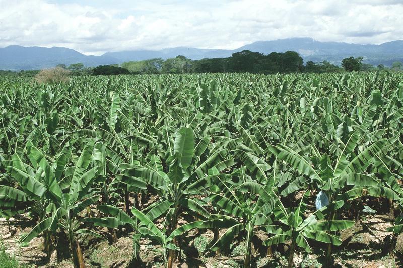 Comment cultiver le bananier plantain de manière intensive