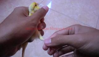 Mengobati Kaki Kenari Luka dan Pincang, Mengobati Kaki Kenari Luka dan Pincang, Cara Mengobati Kaki Burung Yang Terluka