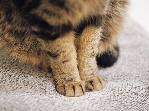 キジトラ猫の揃えた前脚のアップ