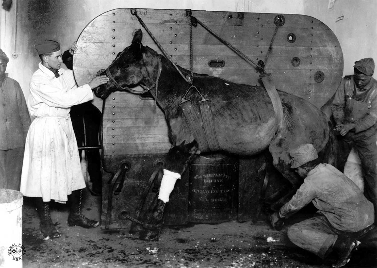 A horse strapped and being lowered into position to be operated on for a gunshot wound by 1st LT Burgett. Le Valdahon, Doubs, France.