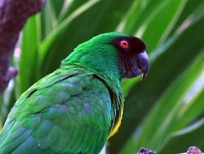 Papagayo enmascarado: Prosopeia personata
