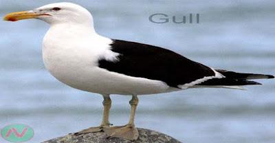 gull, শঙ্খচিল