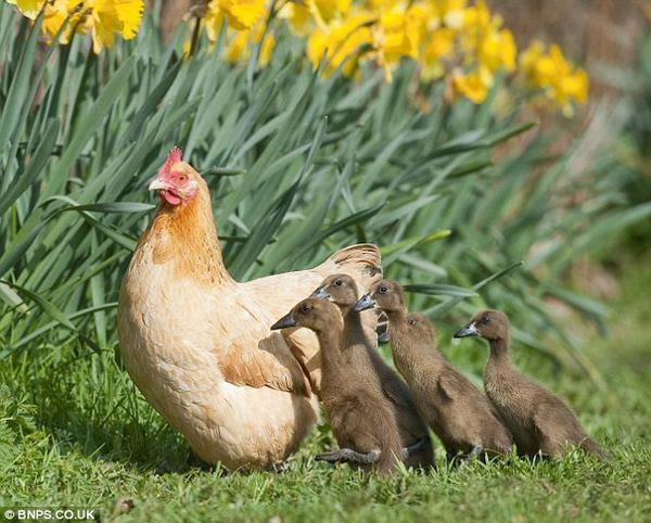 Чужих не бывает животные кормят чужих зверей курица и утята