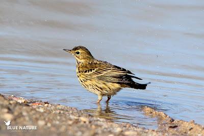 Bisbita pratense (Anthus pratensis) dándose un buen baño. A pesar de que haga un poco de frío el baño para las aves es muy importante, mantiene sus plumas en buen estado, lo que significa que estas le seguirán protegiendo del frío. ¡¡Bien hecho!!