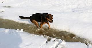 Rambo bouncing in the slush of the stream