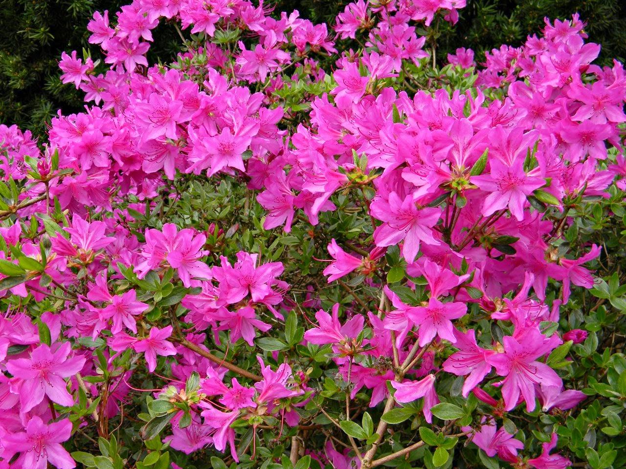 kwiaty, kórnickie arboretum, krzewy, zwiedzanie