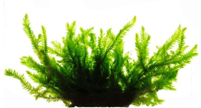 Rêu willow moss là một loại rêu thủy sinh đẹp