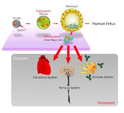 Potential Glioblastoma Treatment Through Mesenchymal Stem Cells