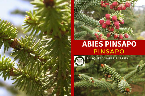 Abies pinsapo, Pinsapo o Abeto Andaluz. Árbol que no suele pasar de los 20 m, de altura.