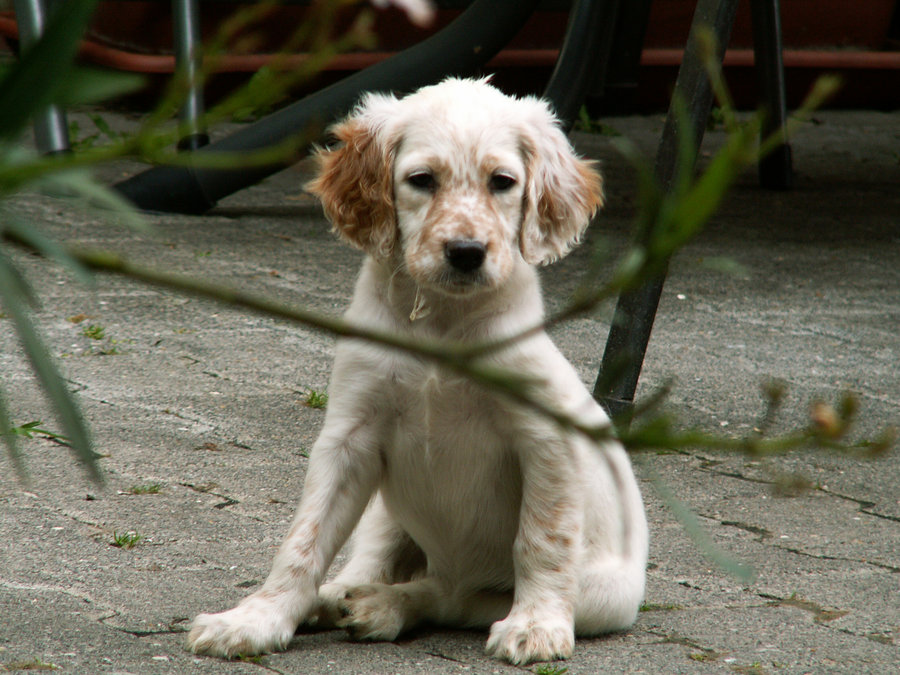 English Setter Dog and Puppies
