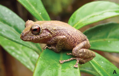 A new rain frog from the cloud forests of El Oro in southern Ecuador.