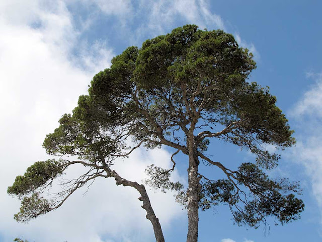 Pine tree in a private garden between piazza Attias and piazza della Vittoria, Livorno