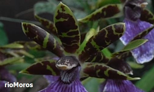 Flor de Zygopetalum Zygopetalum spp