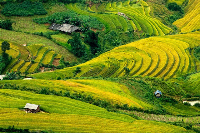Top 5 sites of ripe rice hunting can't be missed at Mu Cang Chai