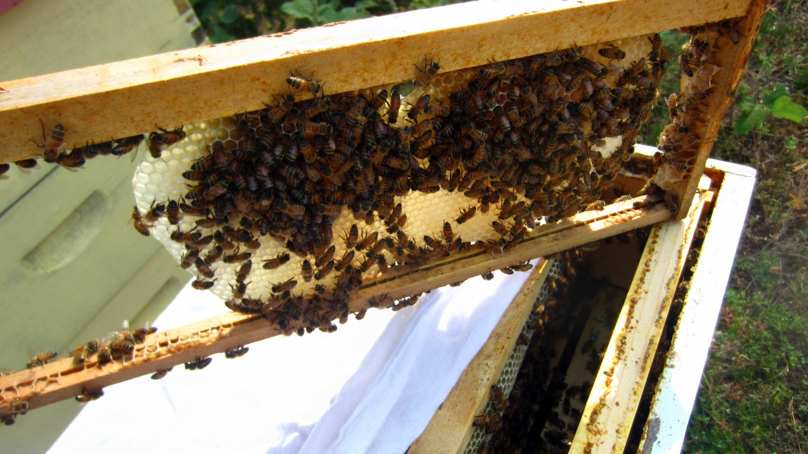 Linda's Bees: Inviting Bees into a New Super of