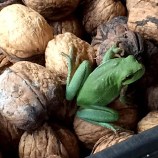 Tree frog (Hyla arborea) on walnuts