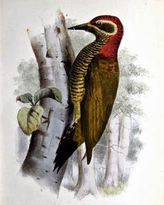 Carpintero vientre amarillo Veniliornis dignus