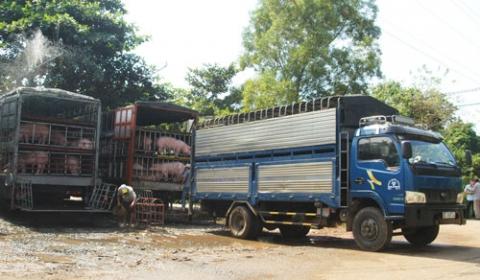 Nguồn cung thịt heo của Trung Quốc bị thắt chặt, cung không đủ cầu có thể là nguyên nhân mấy tháng gần đây, các thương lái Trung Quốc đẩy mạnh thu mua heo ở Việt Nam. (Ảnh minh họa).