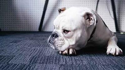 bulldog with a bad look