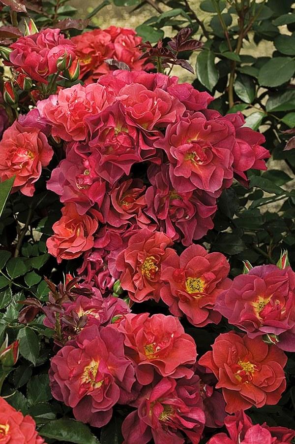 Cinko de Mayo роза сорт фото описание купить Минск