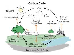 diagram of carbon cycle an its importance ask me biology info Biogeochemical Cycle Diagram diagram of carbon cycle an its importance