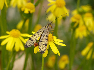 Scorpionfly,weirdest insects in the world