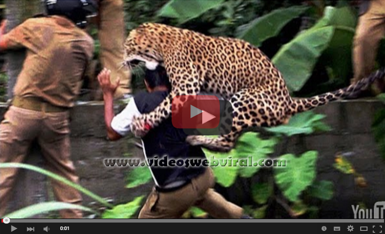 Videos de animales, Leopardo ataca a hombre