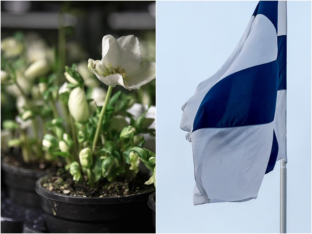 Huiskula, puutarha, Visualaddict, some-markkinointi, kurssi, Frida Steiner, valokuvaaja, valokuvaus, Turku, jouluruusu, valkoinen kukka, suomen lippu